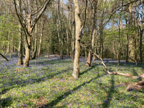Chantry Wood Bluebells